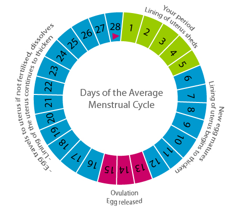 The Three Phases In Menstrual Cycle of a Woman